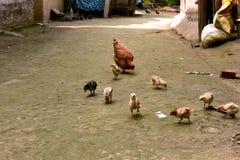 Gallina con i piccoli polli Fotografia Stock Libera da Diritti