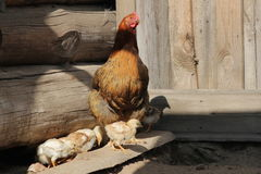 Gallina con i polli che camminano nell'iarda del ` s dell'azienda agricola Immagini Stock Libere da Diritti