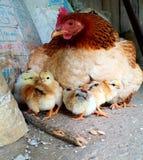 Gallina con i pulcini, PA del Sa, Vietnam Immagini Stock