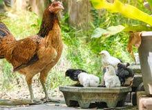 Gallina con il suo pulcino del bambino in giardino posteriore immagine stock