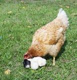 Gallina con l'uccellino implume sull'erba Fotografie Stock Libere da Diritti