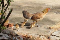 Gallina con la colocación/que corre de los polluelos de los pollos del bebé junto en una granja, pollo de enseñanza de protección Imagenes de archivo