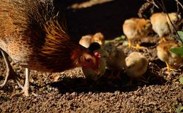 Gallina con los pequeños polluelos imágenes de archivo libres de regalías