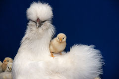 Gallina con los pollos Fotos de archivo