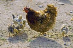 Gallina con los polluelos Fotografía de archivo