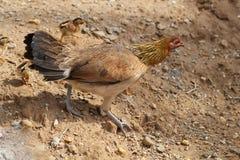 Gallina con los polluelos de los pollos del bebé que caminan junto en una granja, pollo de enseñanza de protección del bebé del p Imagenes de archivo