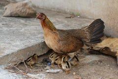 Gallina con stare/che hidding insieme dei pulcini dei polli del bambino su un'azienda agricola, pollo d'istruzione proteggente de Immagini Stock