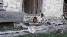 Gallina con un gallo y un gato almacen de metraje de vídeo