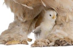 Gallina de Brown Brahma y su polluelo imágenes de archivo libres de regalías