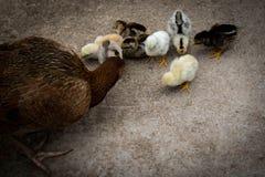 Gallina de la madre con su consumición de los polluelos Imágenes de archivo libres de regalías