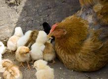 Gallina de la madre y sus polluelos I Imagen de archivo libre de regalías