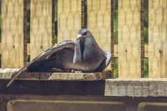 Gallina de la paloma que compite con Imagen de archivo