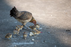 Gallina del bantam dell'animale domestico con i polli neonati Immagini Stock