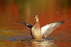 Gallina del pato silvestre en el agua anaranjada en caída en la oscuridad foto de archivo