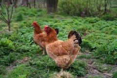 Gallina del pollo Imagenes de archivo