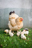 Gallina della madre e piccoli pulcini Immagini Stock Libere da Diritti