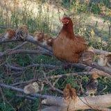 Gallina della madre ed i suoi pulcini Immagine Stock Libera da Diritti