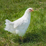 Gallina della White Plymouth Rock Fotografie Stock