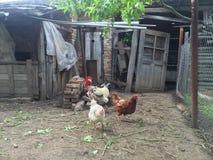 Gallina e gallo Immagini Stock