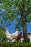 Gallina e gallo Immagine Stock