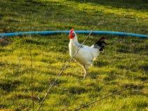Gallina e gallo domestico di allevamento Immagine Stock