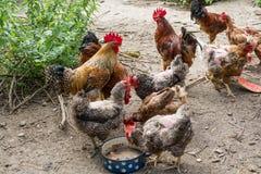 Gallina e gallo sull'azienda avicola libera tradizionale della gamma Fotografia Stock Libera da Diritti