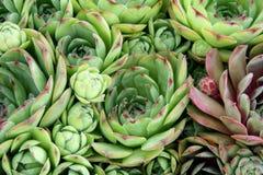 Gallina e pianta dei pulcini Fotografie Stock Libere da Diritti