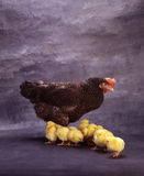 Gallina e piccoli polli Fotografie Stock