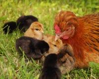 Gallina e pollo fotografia stock