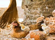 Gallina e primo piano dei pulcini Fotografie Stock Libere da Diritti