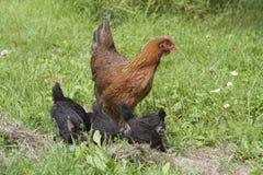 Gallina e pulcini Fotografia Stock Libera da Diritti