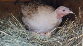 Gallina en jerarqu?a con los huevos Gallina en la jerarqu?a imágenes de archivo libres de regalías