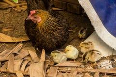 Gallina, familia, pollo, polluelo del campo Imágenes de archivo libres de regalías