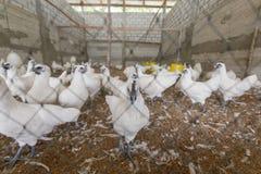 Gallina felice in azienda agricola Immagini Stock