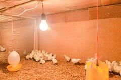 Gallina felice in azienda agricola Fotografie Stock