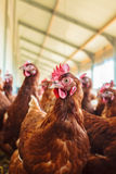 Gallina marrone curiosa su un'azienda agricola di pollo organica Immagini Stock