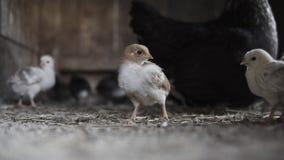 Gallina negra con el pequeño pollo almacen de metraje de vídeo