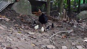 Gallina negra con los polluelos nuevamente tramados que caminan buscando la comida en yarda almacen de metraje de vídeo