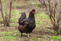 Gallina nera nel giardino Tempo agricolo Bestiame e pollame fotografia stock