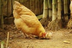 Gallina organica con il giovane pulcino Fotografia Stock Libera da Diritti