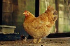 Gallina organica con il giovane pulcino Fotografia Stock
