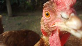 Gallina - pollo libero della gamma - occhio del pollo fotografia stock libera da diritti