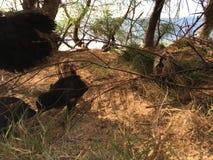 Gallina salvaje con los pollos del bebé debajo del árbol del Casuarina en la playa en Kapaa en la isla de Kauai en Hawaii Fotografía de archivo libre de regalías