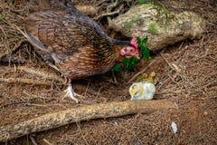 Gallina salvaje con un polluelo blanco en el bosque en la isla de Oahu foto de archivo libre de regalías