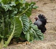 Gallina suffiiciencyorganic del gallo del jardín del uno mismo Fotos de archivo