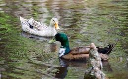 Gallina y Drake del pato silvestre Imágenes de archivo libres de regalías