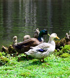 Gallina y Drake del pato silvestre Foto de archivo libre de regalías