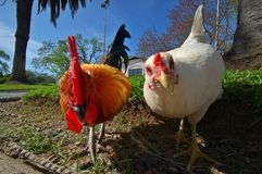 Gallina y gallo Fotografía de archivo