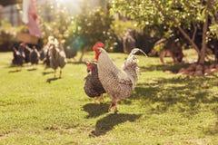 Gallina y gallo en un jardín iluminado por el sol con otros pollos Foto de archivo