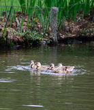 Gallina y jóvenes del pato silvestre Imagen de archivo